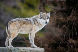 grey-wolf-on-a-ledge-537x358