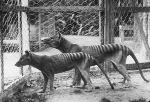 The Tasmanian tiger, a carnivorous marsupial native to continental Australia, was declared extinct in 1986. Pictured, a pair of Tasmanian tigers in Hobart Zoo in Tasmania, Australia, circa 1921. Creative Commons