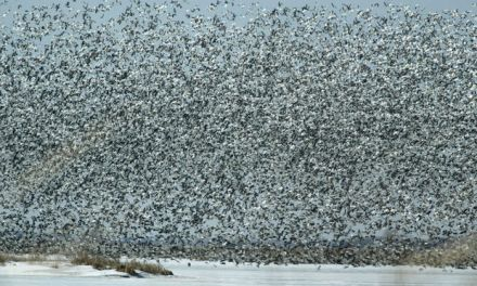 Geese Fall Dead: Thousands Of Dead Geese Fall From  in Idaho Sky