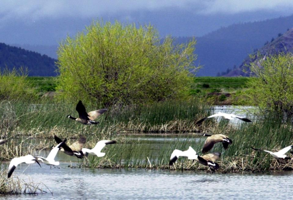 FILE - In this May 9 2005, file photo, shows snow geese and Canada geese preparing to land on marsh at the Lower Klamath National Wildlife Refuge near Merrill, Ore. National wildlife refuges in Oregon, Washington, Idaho and Hawaii are phasing out pesticides from the group known as neonicotinoids because they pose a danger to bees and other pollinators. (AP Photo/Jeff Barnard, File)