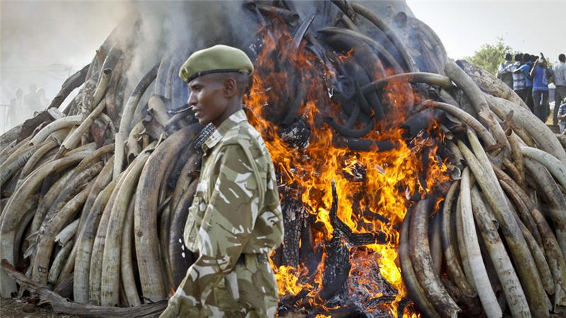 A wildlife conservation group said that 100,000 elephants were killed in Africa between 2010 and 2012 [AP]