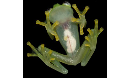 New frog species: Scientists Discovery Kermit The Frogs Twin