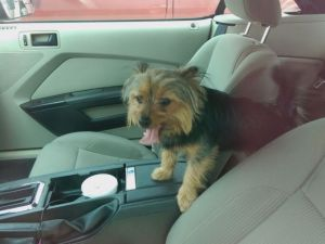 The Yorkshire terrier was panting and left without water, witnesses said.