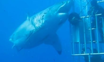 'Deep Blue', Great White Could Be Biggest Ever