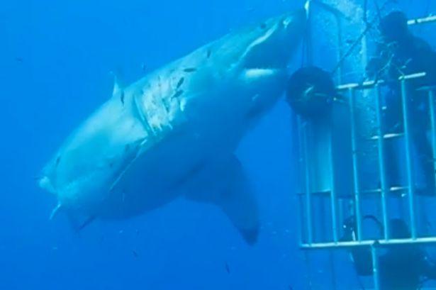 Deep Blue great white shark 2