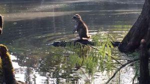 Raccoon riding gator