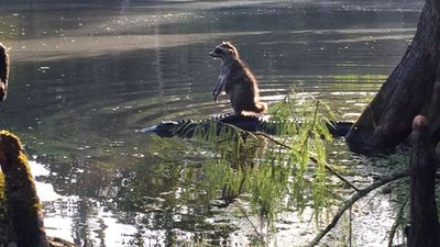 Raccoon riding gator