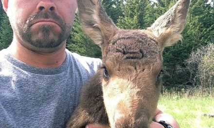 Orphaned Moose Killed In Montana: Social Media Outraged (PHOTO)