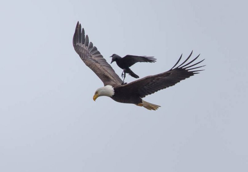 Crow Photographed Riding On The Back The Back Eagle (PHOTO)