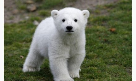 Knut the polar bear cause of death revealed
