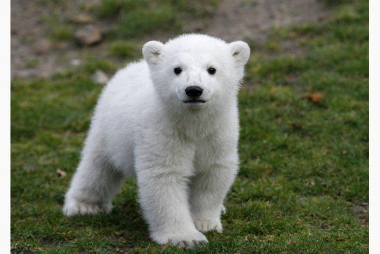 Copenhagen Zoo Staff Rescue man who jumped in polar bear area