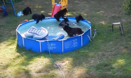 bears in new jersey pool:  See How Bear Family Beat The Heat (VIDEO)