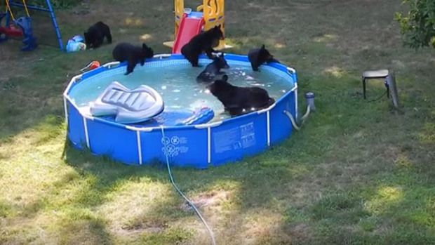 A family of bears are filmed cooling off in a backyard pool in Rockaway Township, New Jersey. The pool's owners, the Basso family, filmed the incident on Tuesday, and say the mama and her five cubs stayed for almost an hour, helping themselves to the pool's toys and a nearby playset