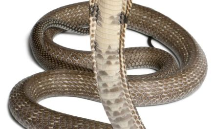 Escaped King cobra snake found after missing for a month (PHOTO)