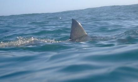 California shark cluster:  20 Great White Sharks Spotted
