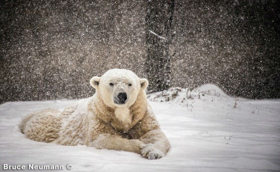 Klondike the polar bear dies at Philadelphia Zoo