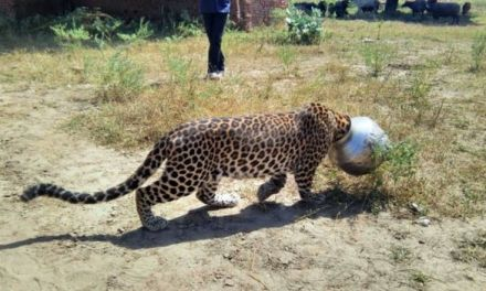 Leopard gets head stuck in pot (VIDEO)