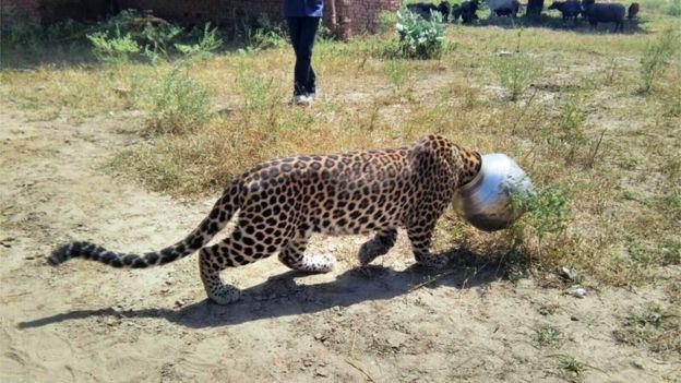 Leopard head stuck pot