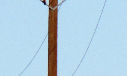 mountain lion climbs telephone pole (PHOTO)