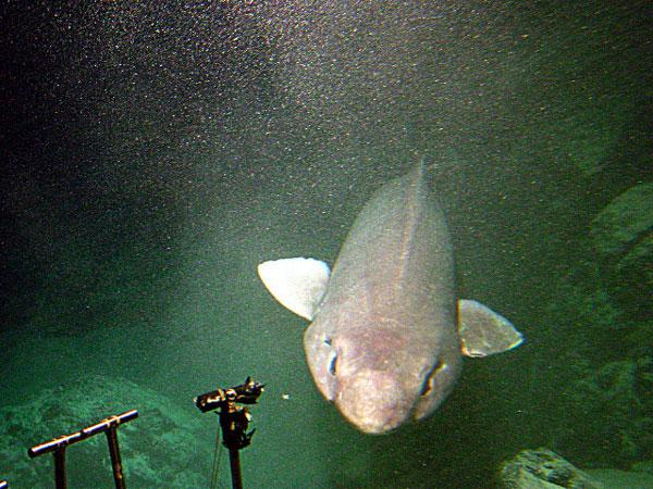 A photo of a false catshark (Pseudotriakis microdon) ecountered by researchers from the NOAA Ocean Explorer program. NOAA OCEAN EXPLORER