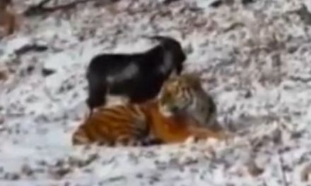 Goat befriends tiger In Russia