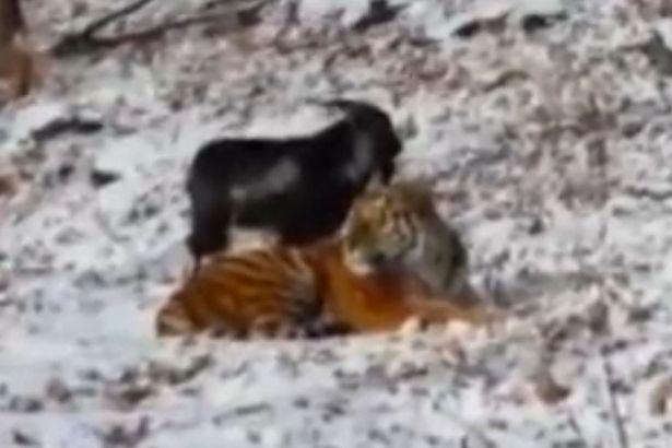 Goat befriends tiger In Russia