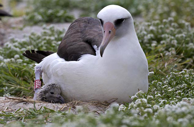 64-year-old albatross Is Oldest Known Bird To Lay An Egg (PHOTO)