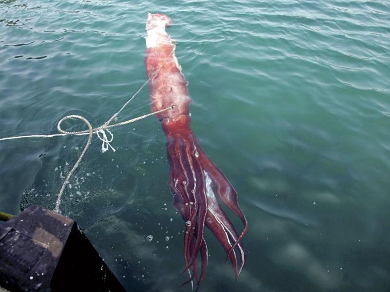 Japan giant squid