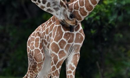 Young Giraffe Euthanized After Freak Accident