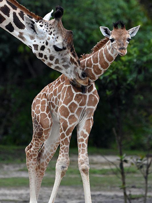 Giraffe euthanized