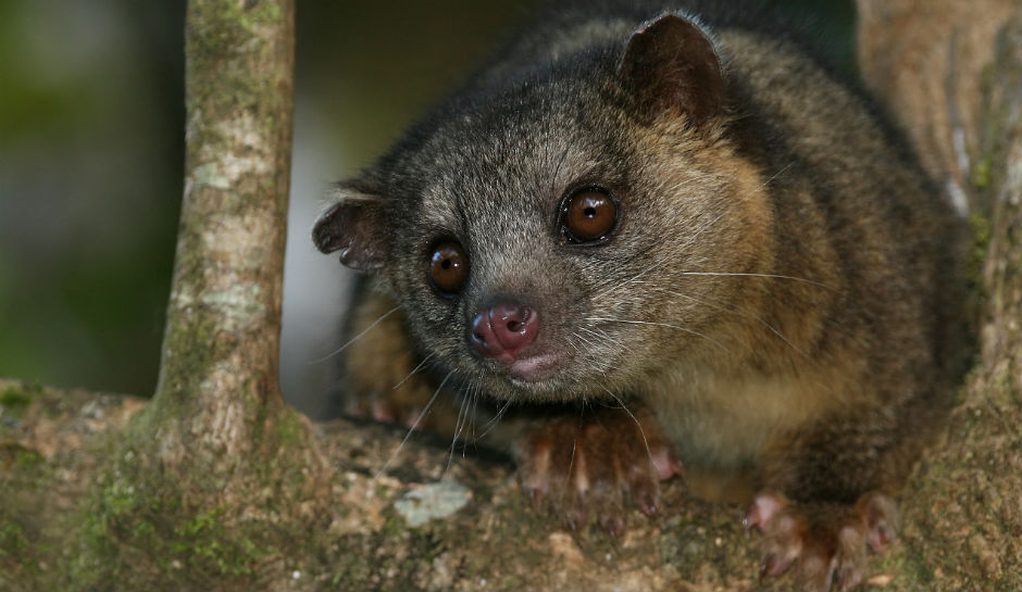 Kinkajou wakes woman:  Woman Wakes To Exotic Animal animal Caressing her Face