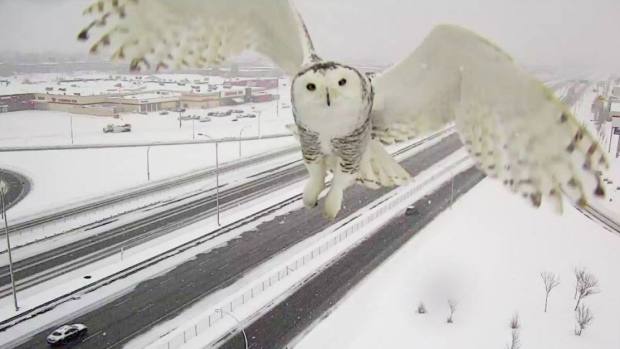 Snowy owl traffic camera Images are stunning