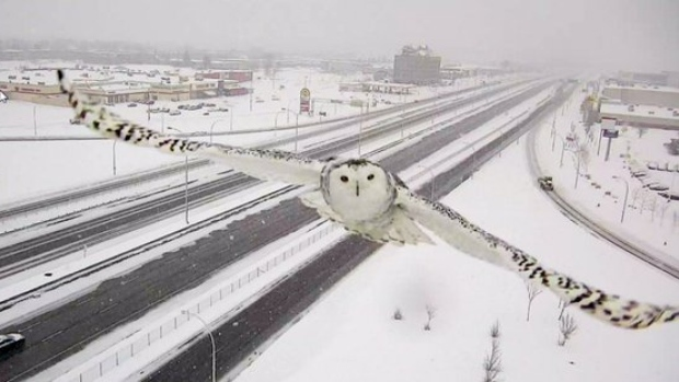 Snowy owl traffic camera