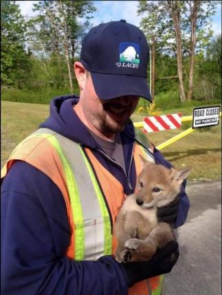Coyote Pups Rescued From Lacey Storm Drain