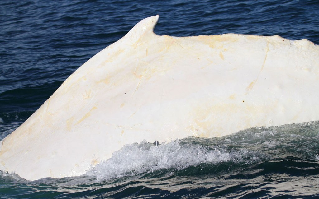 Gallon of Milk: albino whale spotted off Baja coast (PHOTO)