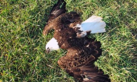 bald eagles: humans blamed for the death of 13 bald eagles