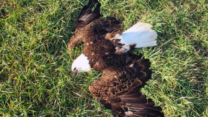 bald eagles: humans blamed for the death of 13 bald eagles
