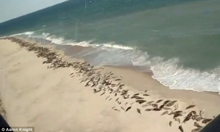 Cape Cod seals: Herd of seals sunbathe on Cape Cod beach