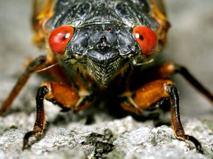 Cicada Mating Season Promises To Be A Doozy, Especially In The Northeastern U.S.