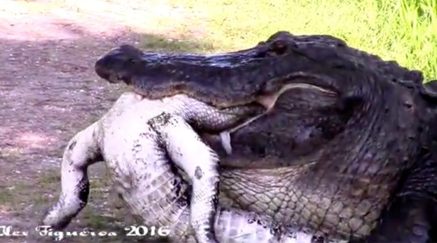 Massive Gator Eats Smaller Gator