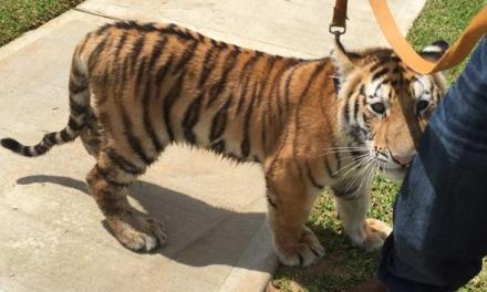 Tiger in Conroe: Police Looking For The Owner