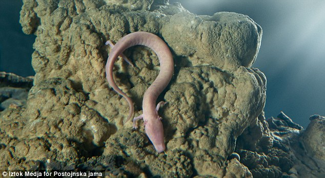 Olm salamander eggs hatching at a cave in Slovenia (PHOTO)