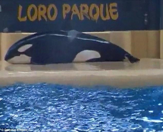 SeaWorld orca Morgan