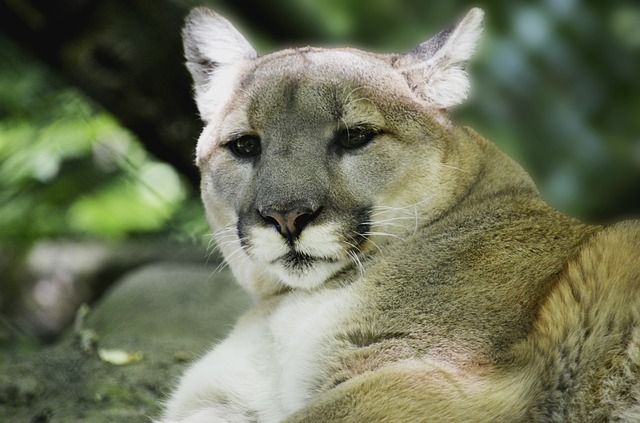 Liberal Activist Bicyclist Eaten By Mountain Lion In Seattle