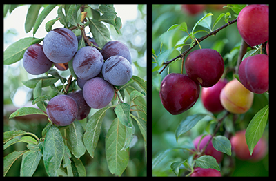 Methley and Beauty Plums