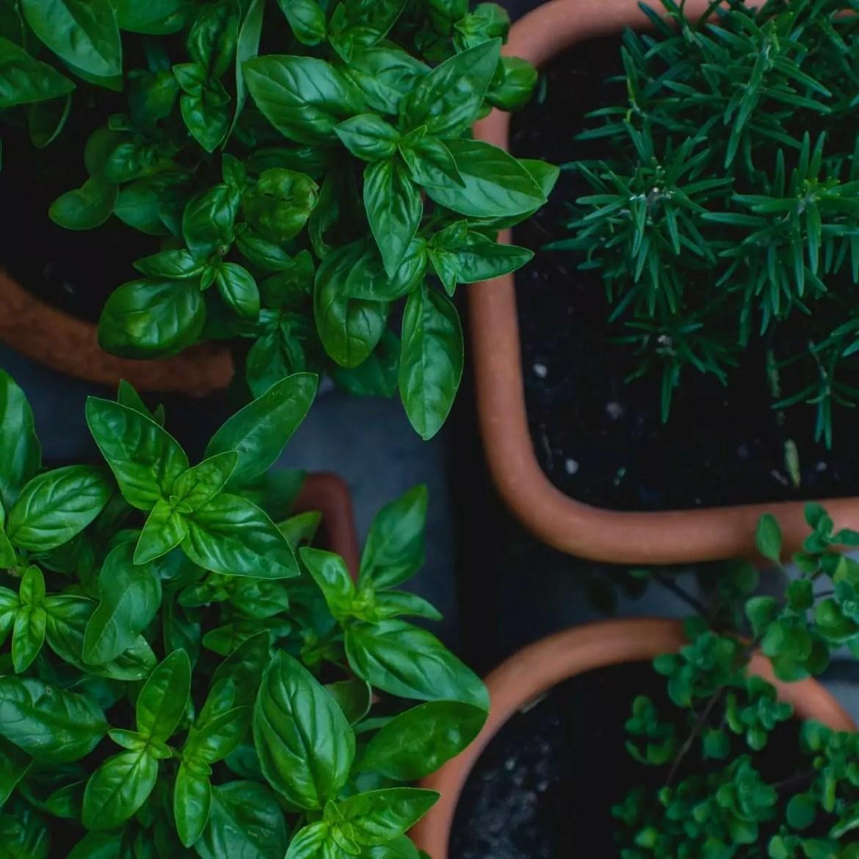 plantas medicinais antivirais 3