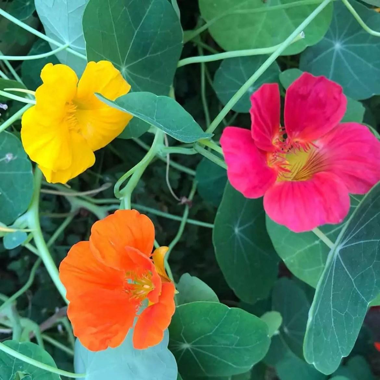 flores comestíveis amor-perfeito