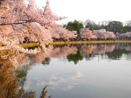 National Cherry Blossom - Tidal Basin Welcome Area and ANA Performance Stage