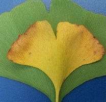 Using Ginkgo Leaves to Track Earth's Changing Climate