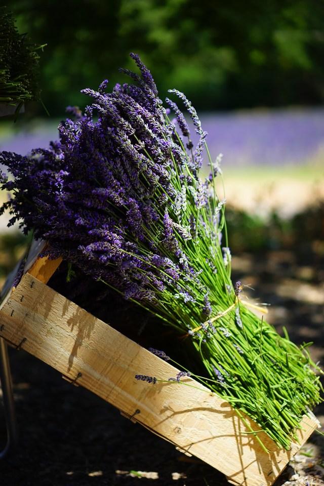 Botte de Lavande De Provence fraichement coupée.